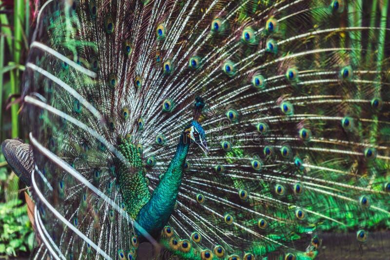 Färgrik indisk manlig påfågel och dess färgrika svans royaltyfria bilder