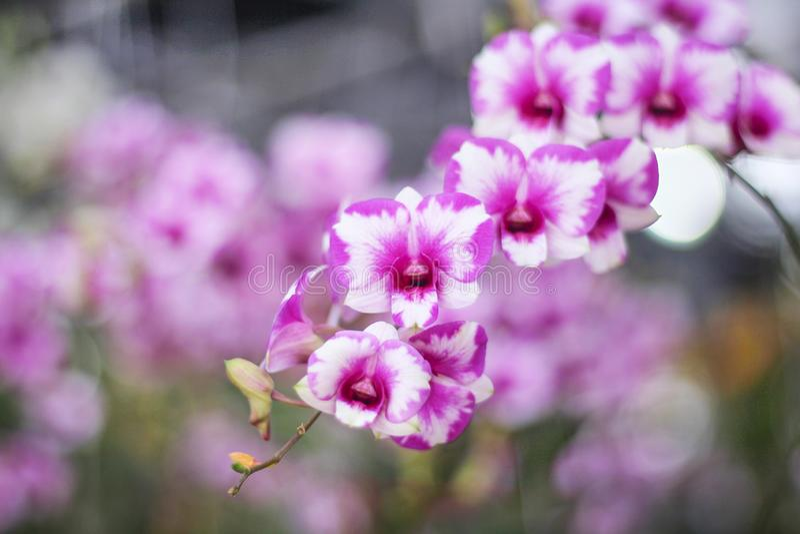 Färgrik inflorescence av purpurfärgade orkidér med vitt randigt blomma i trädgårdbakgrund, naturlig blomma enorm grupp som hänger fotografering för bildbyråer