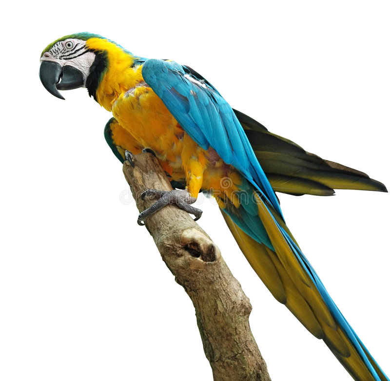 färgrik isolerad papegoja arkivbilder