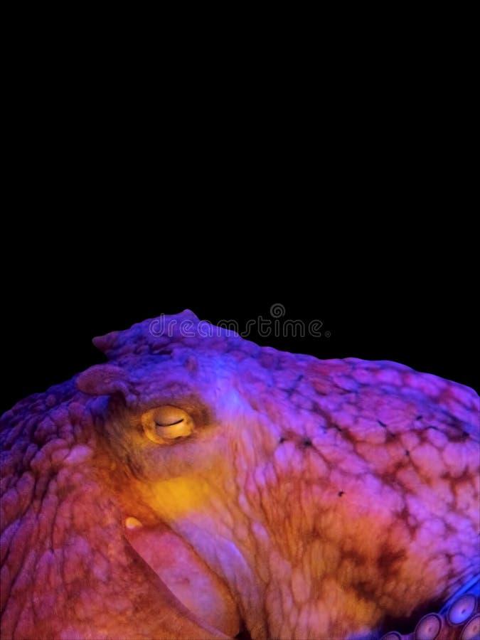 Färgrik jätte- Stillahavs- bläckfisk på svart bakgrund fotografering för bildbyråer