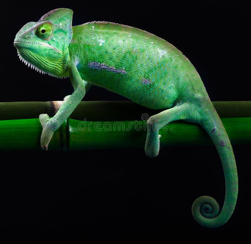 Färgrik kameleont, ljust livligt exotiskt klimat fotografering för bildbyråer