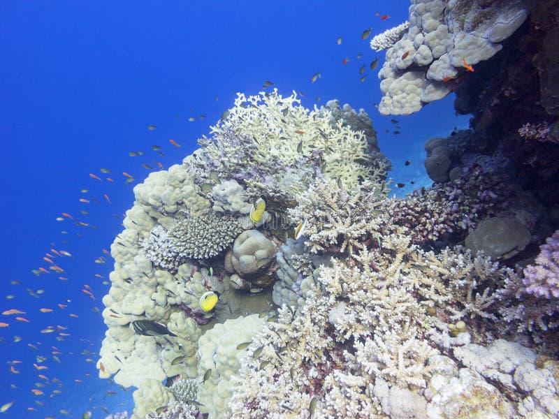 Färgrik korallrev på botten av det tropiska havet, undervattens- landskap royaltyfri foto
