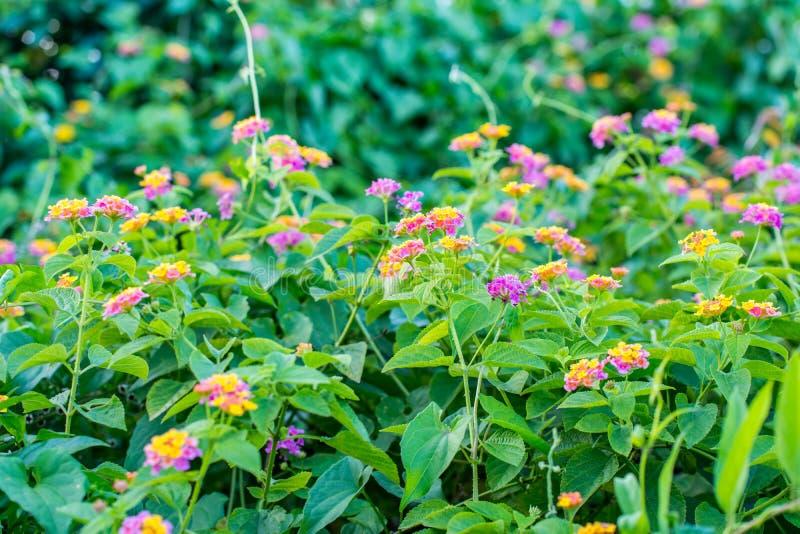 Färgrik Lantanacamarablomma som blomstrar i trädgård royaltyfria bilder
