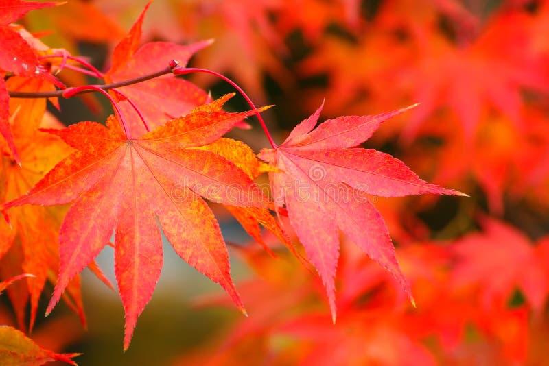 färgrik leaveslönn för höst arkivfoto