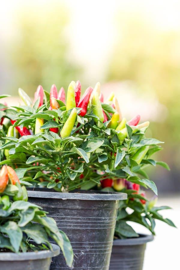Färgrik liten växt för chilipeppar royaltyfria bilder