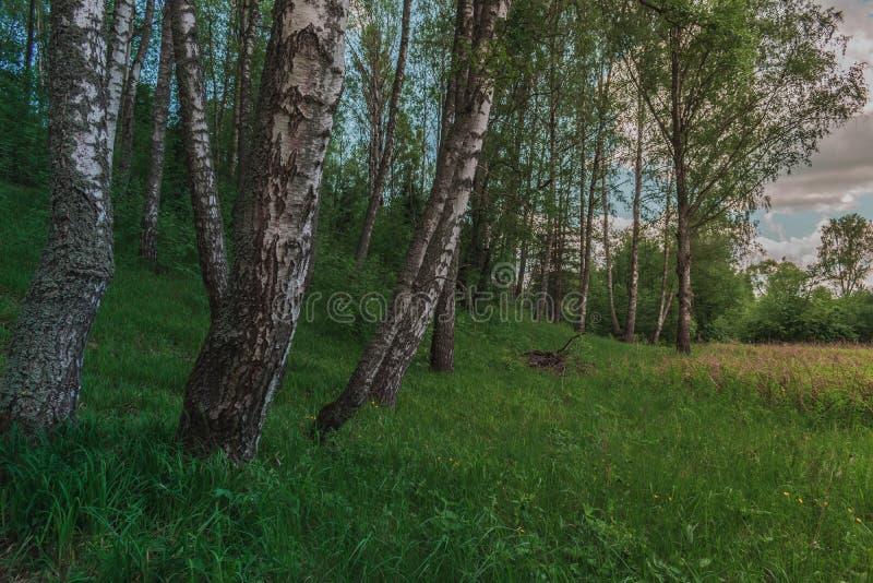 F?rgrik ljus Sunny Summer Green Birch Tree skog arkivbild