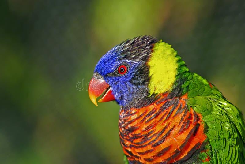 färgrik lorikeet för fågelcloseup royaltyfri bild