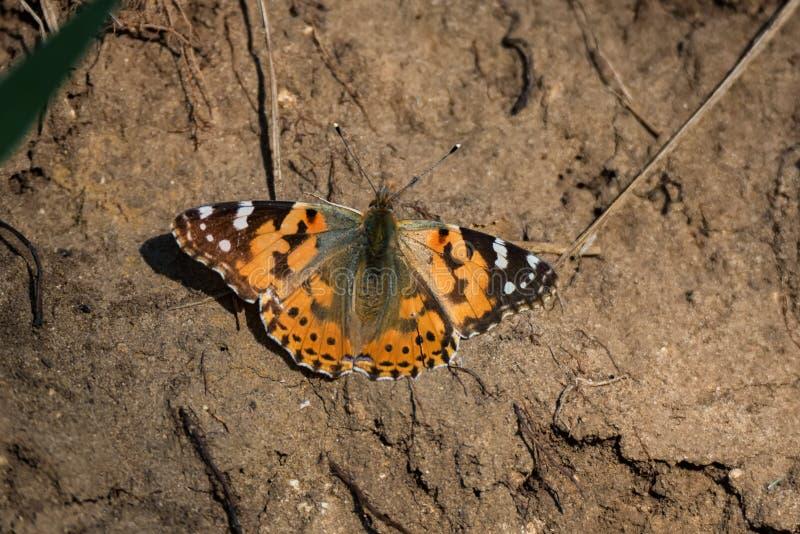 Färgrik målad damfjäril eller Vanessa cardui på jordning royaltyfri bild