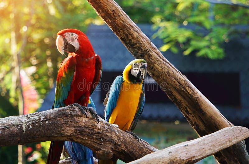 Färgrik macawfågel royaltyfria bilder