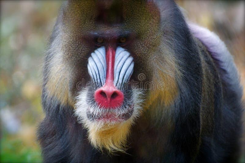 färgrik male mandrill arkivfoto