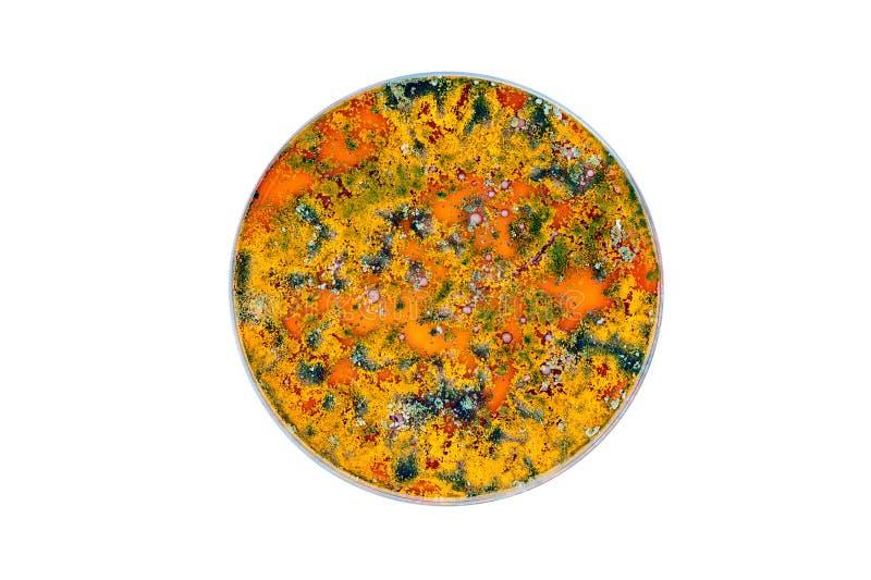 Färgrik mikroorganism för whit för petri maträtt arkivbild