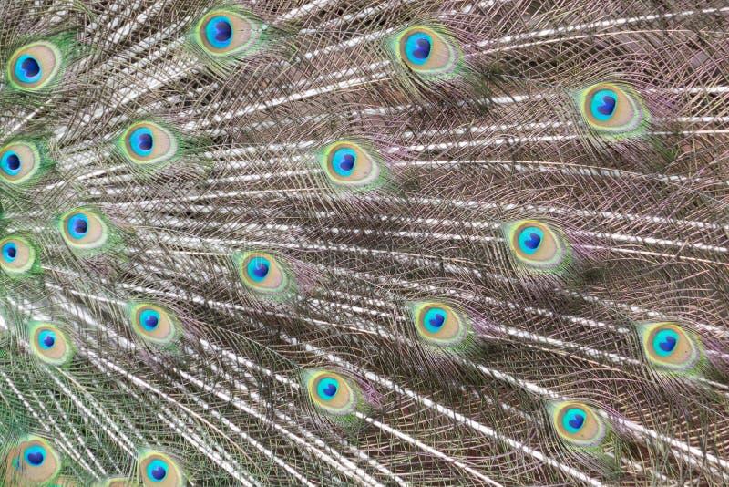 Färgrik modell av påfågelfjädrar royaltyfria foton