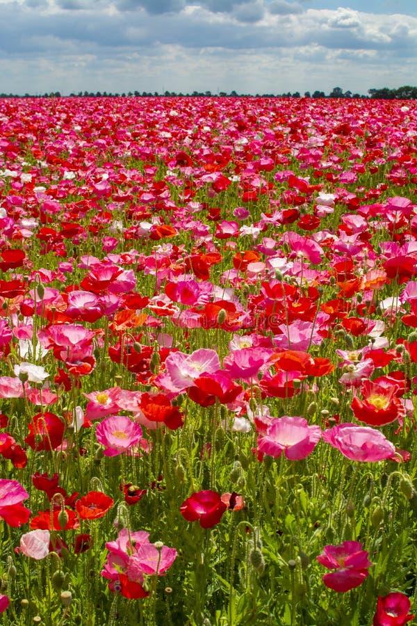 Färgrik naturbakgrund, vallmofält med vita, rosa och röda vallmoblommor royaltyfri fotografi