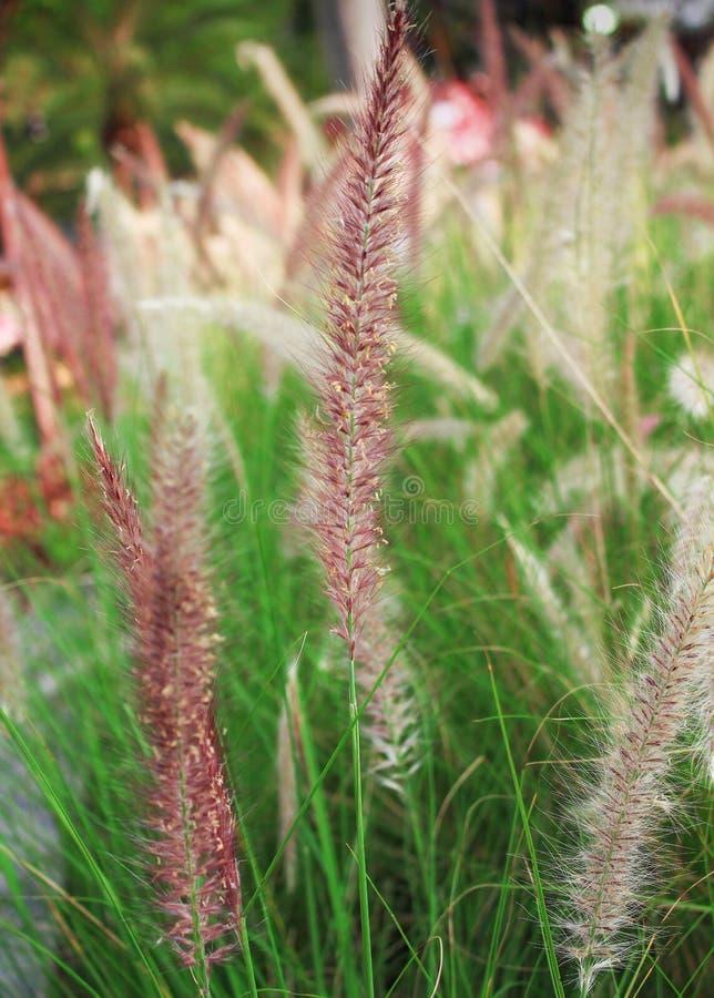 Färgrik purpurfärgad gräsblomma med den gröna stammen i trädgård fotografering för bildbyråer