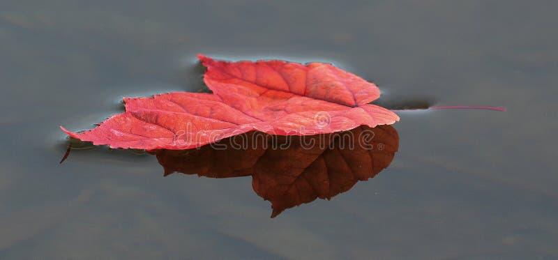 Färgrik röd lönnlöv på vattnet arkivbilder