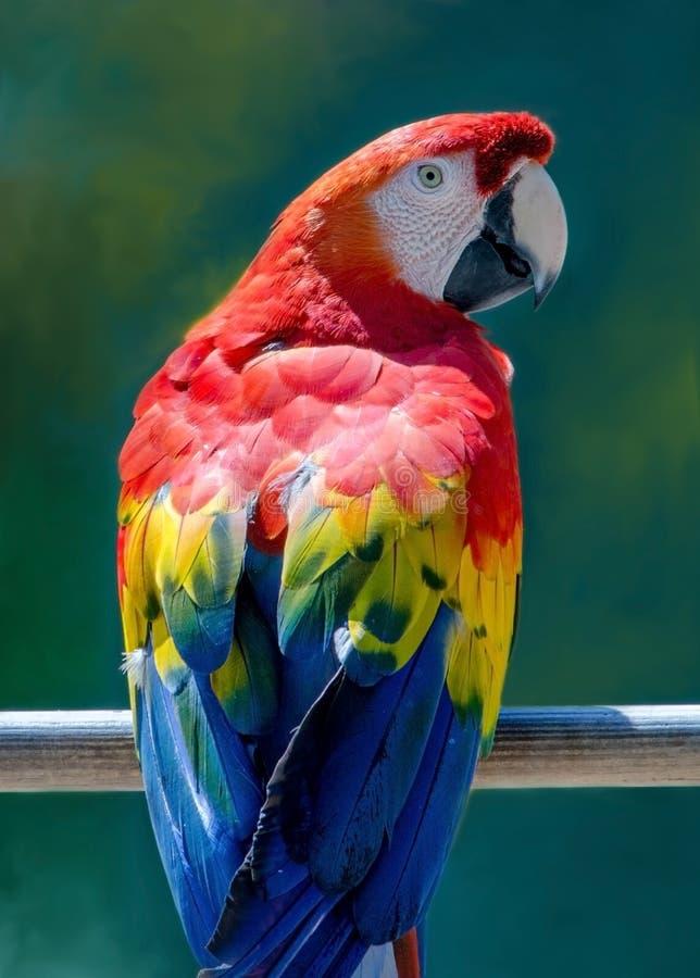 Färgrik röd och blå arastående fotografering för bildbyråer