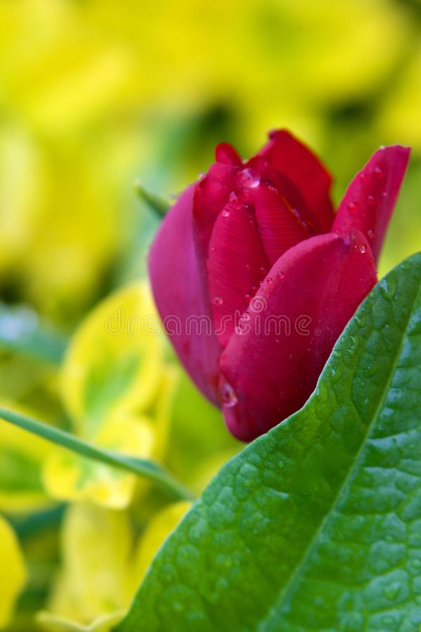 Färgrik röd rosblomma på gul bakgrund arkivfoton