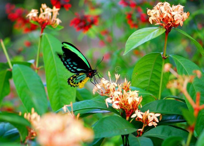 Färgrik röseBirdwing fjäril som matar i blommor royaltyfri bild