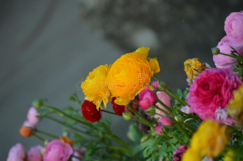 Färgrik Ranunculus, persiska smörblommablommor arkivfoto