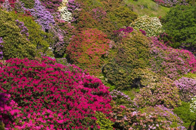 Färgrik rhododendron, Italien royaltyfri fotografi