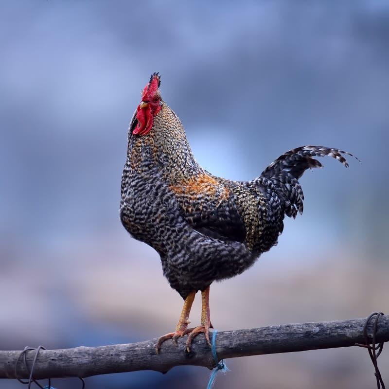 färgrik rooster fotografering för bildbyråer