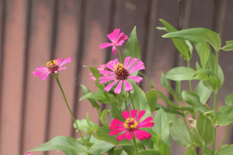 Färgrik rosa och röd blomma fotografering för bildbyråer