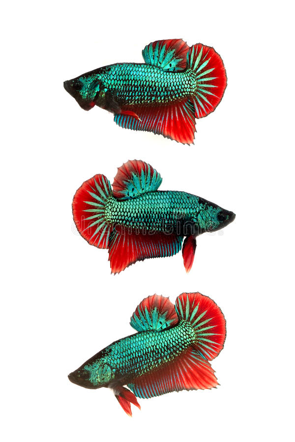 Färgrik siamese stridighetfisk royaltyfri fotografi