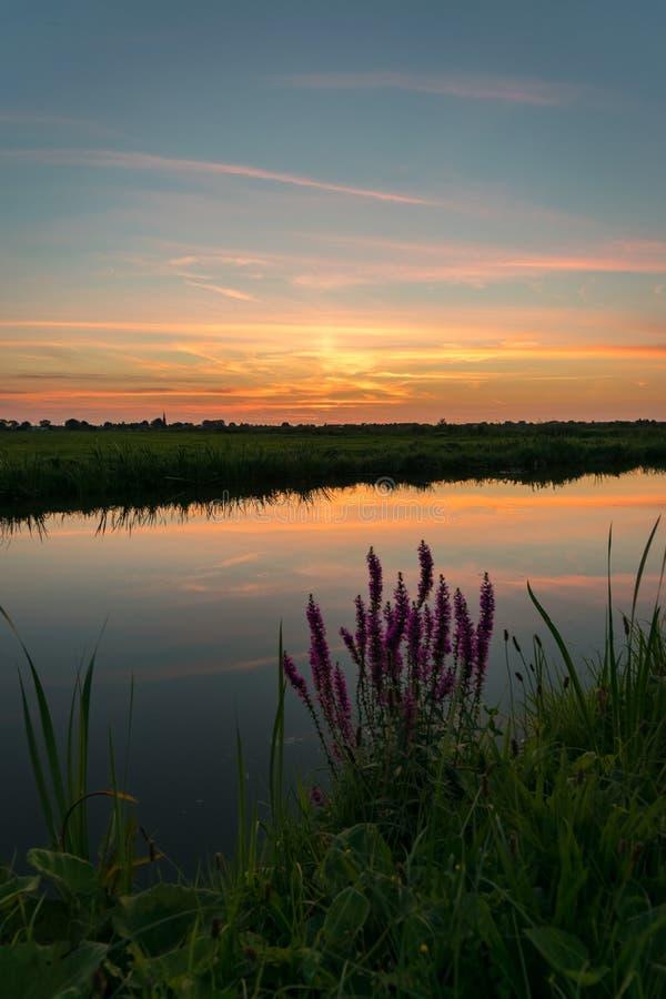 Färgrik solnedgång över det holländska polderlandskapet nära gouda, Nederländerna Typiska höstvildblommor i förgrunden arkivfoto