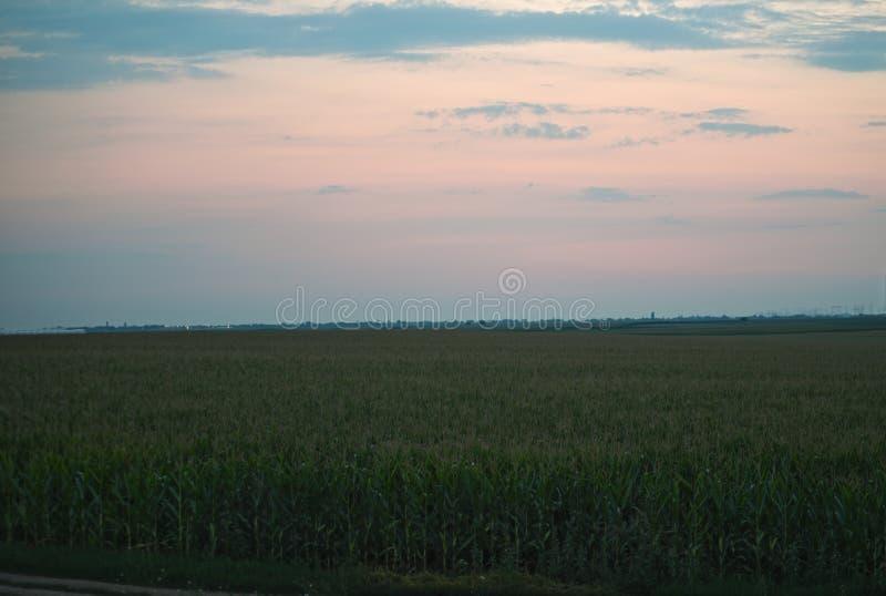 Färgrik solnedgång över havrefältet, sommarlandskap fotografering för bildbyråer