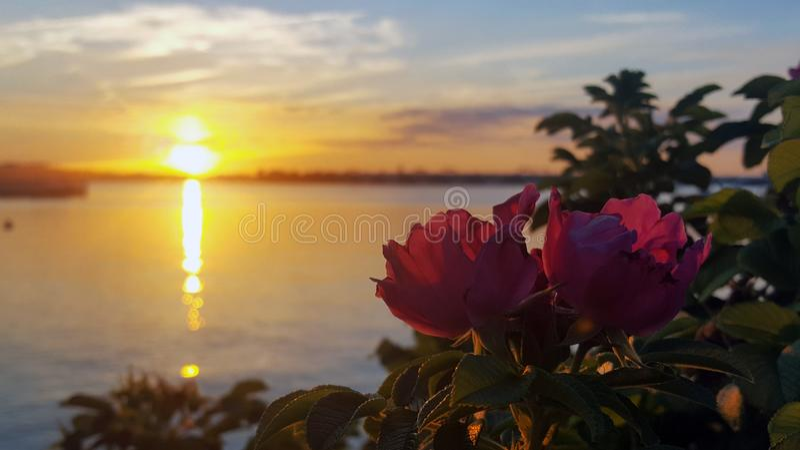 Färgrik soluppsättning över floden med reflexion och två röda rosor royaltyfri foto