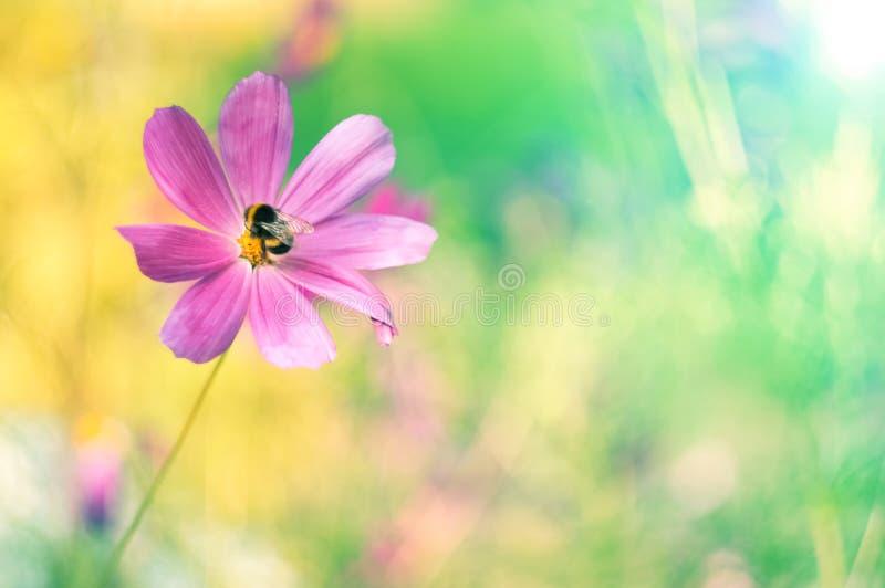 Färgrik sommarbakgrund med blomman och humlan Delikata pastellfärgade färger, ställe för text arkivbild