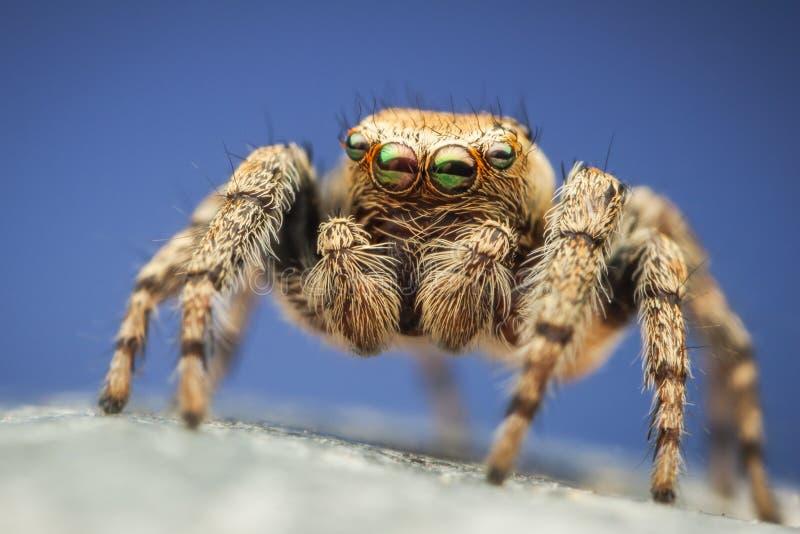 Färgrik spindel för Evarcha hoyibanhoppning arkivbild