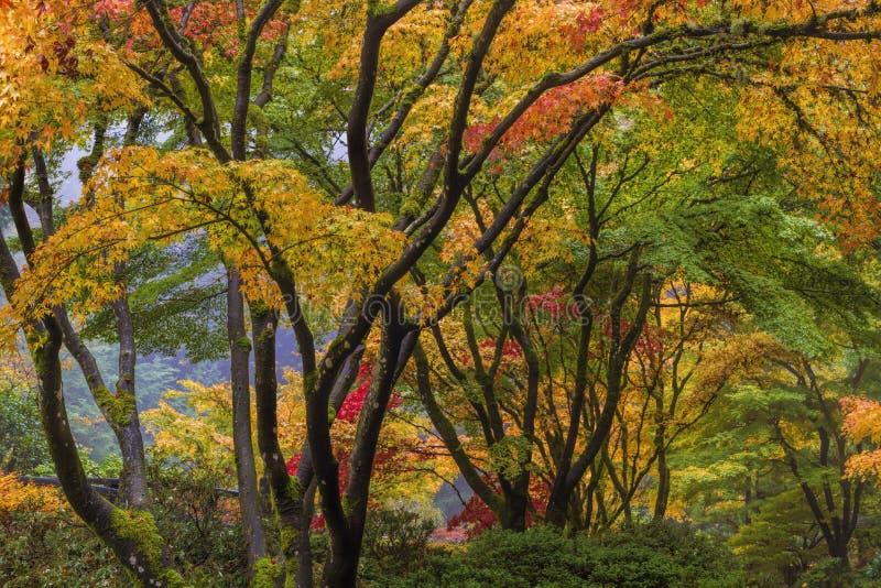 Färgrik trädmarkis för japansk lönn i nedgångsäsong royaltyfria bilder