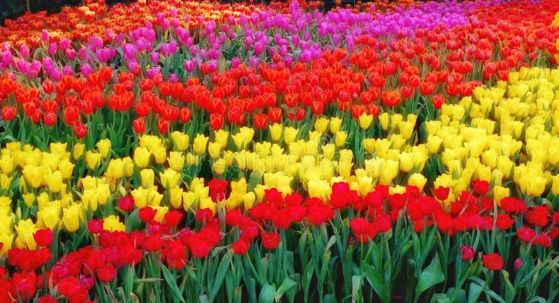 Färgrik tulpanträdgård, härlig tulpanblomma royaltyfria bilder