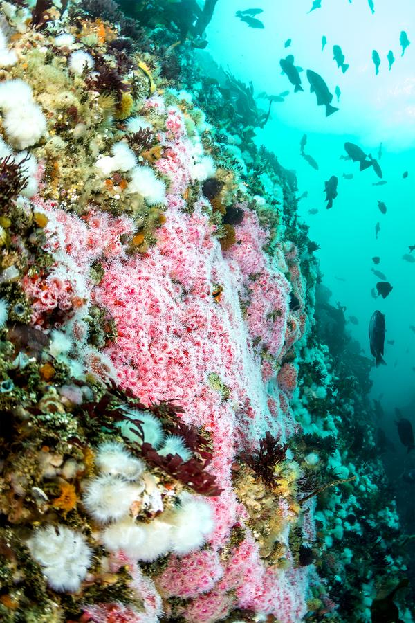 Färgrik undervattens- rev i Kalifornien royaltyfria foton