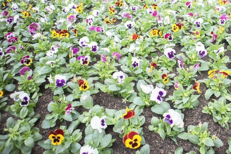 Färgrik utomhus- trädgård av penséblommor fotografering för bildbyråer