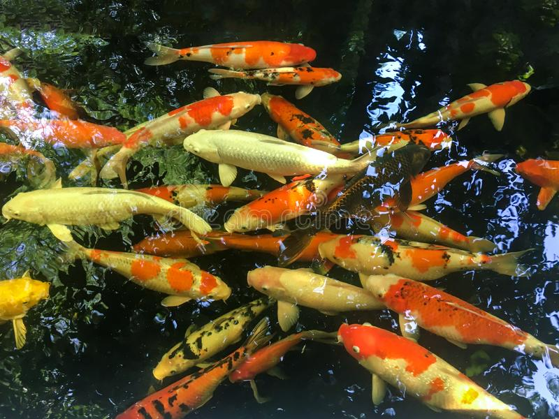 Färgrik utsmyckad karpfisk i dammet, Koi fisk royaltyfria bilder