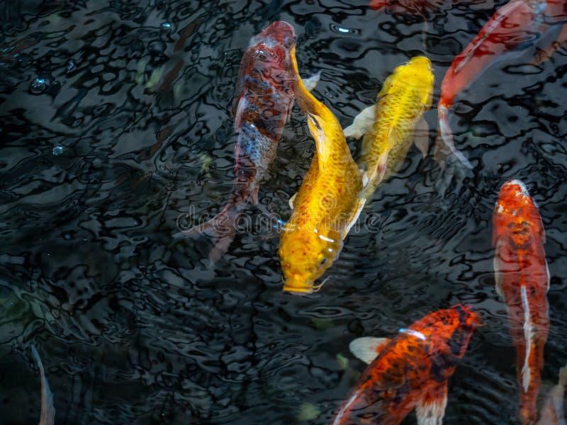 Färgrik utsmyckad karpfisk, koifisk, för Cyprinuscarpio för fisk japanskt simma variationer naturligt organiskt för härliga färg arkivfoto