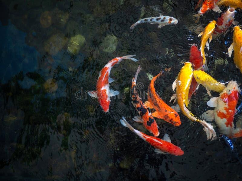 Färgrik utsmyckad karpfisk, koifisk, för Cyprinuscarpio för fisk japanskt simma variationer naturligt organiskt för härliga färg arkivfoton