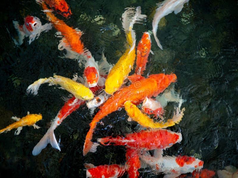 Färgrik utsmyckad karpfisk, koifisk, för Cyprinuscarpio för fisk japanskt simma variationer naturligt organiskt för härliga färg arkivbilder