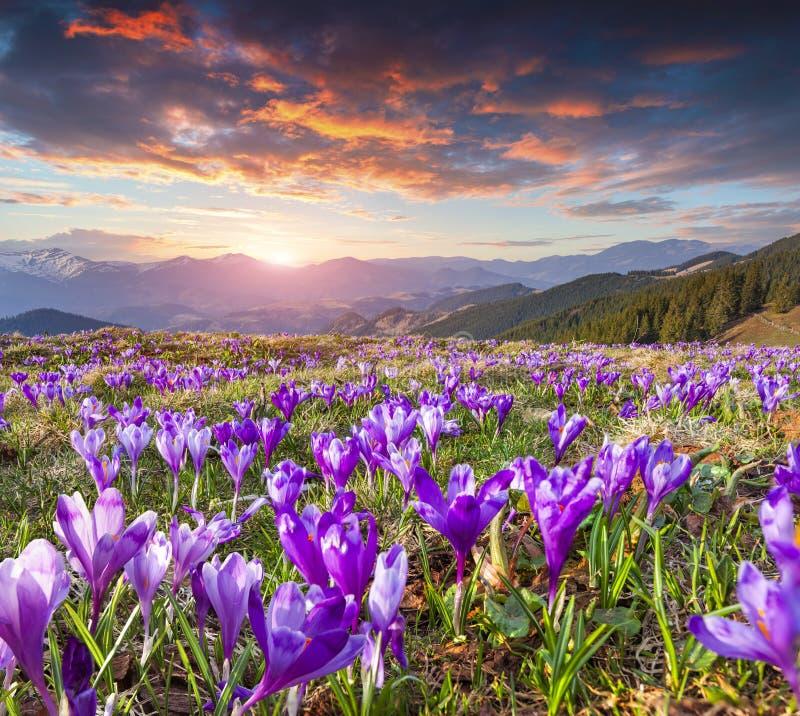 Färgrik vårsoluppgång med fältet av blomningen av krokusar i mou royaltyfria foton