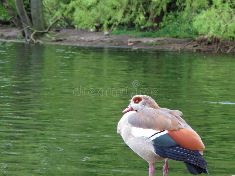 Färgrik vattenfågel i en sjö i Regent Park, London fotografering för bildbyråer