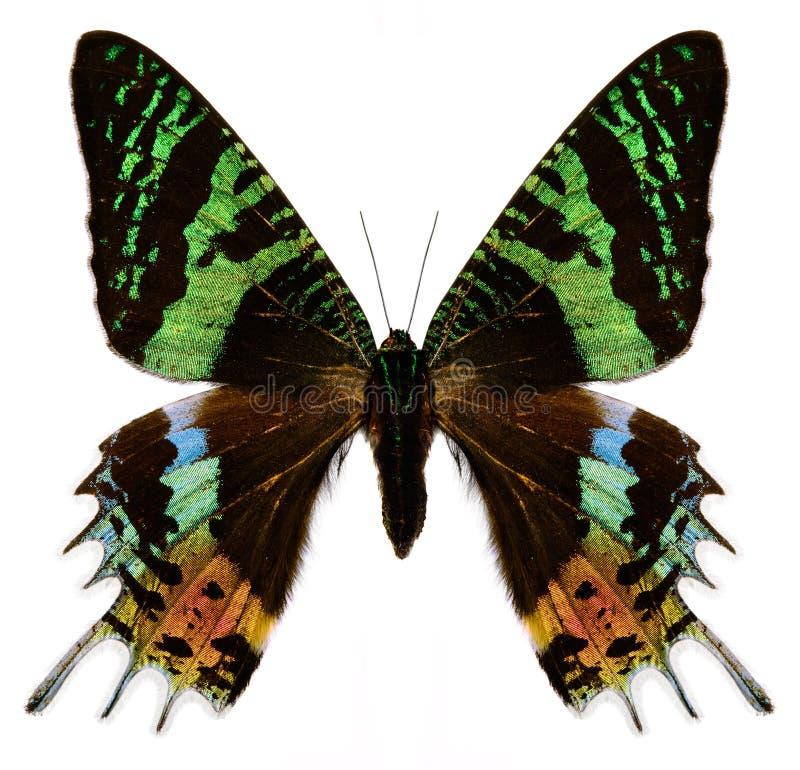 färgrik white för fjäril royaltyfri foto