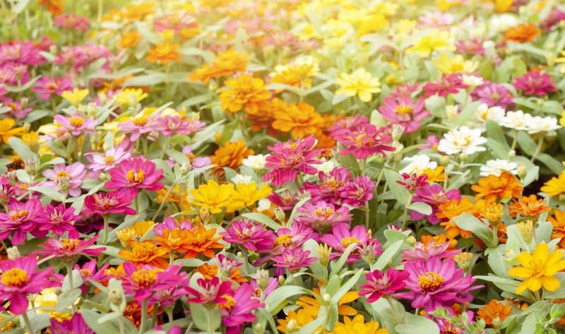 Färgrik zinniablomma som är härlig på naturbakgrund i trädgården arkivfoto