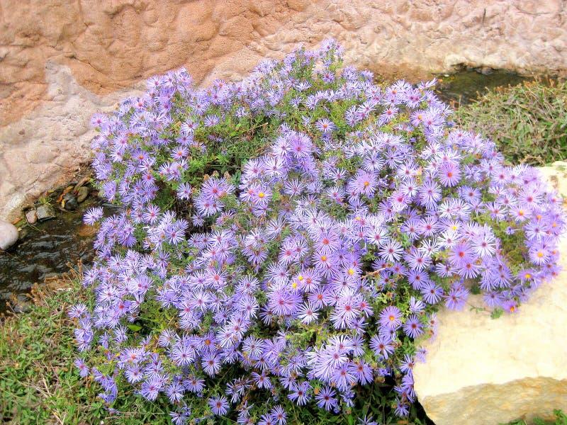Färgrika blåa astervildblommor i Abilene, Texas royaltyfri bild