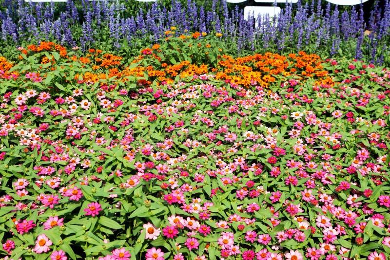 Färgrika blommafält som fylls med rosa och apelsinen av zinniaen royaltyfria bilder