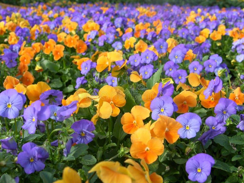 färgrika blommor