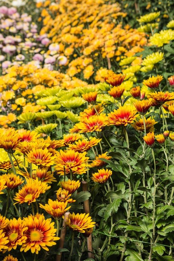 färgrika blommor för chrysanthemum royaltyfri bild