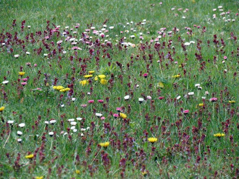 Färgrika blommor i sommarängen, Litauen royaltyfria foton