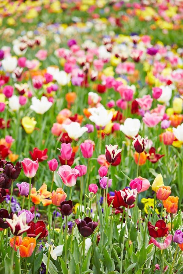 Färgrika blommor och tulpan i ett fält arkivfoto
